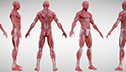 <br/>Brent Rombouts <br/>Anatomy Study <br/>and Fluffy sculpt